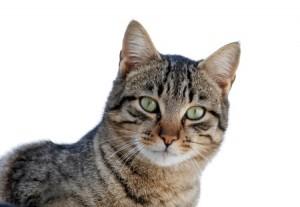 Kissa katsoo kohti.