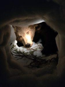 pehmolelu karhu on aseteltuna valkoisen pyyhkeen sisään. Karhun edessä on kuusenoksa.