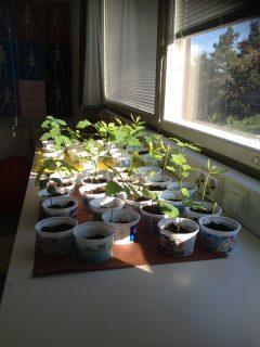 Tammen taimia kasvamassa biologian luokassa.