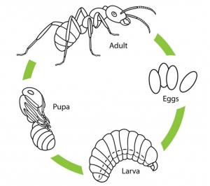 muurahaisen elämä munasta aikuiseen piirrettynä kaaviona.