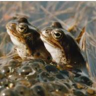 kaksi sammakkoa vedessä.
